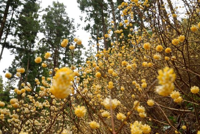春をつげる黄色い妖精たち。茂木町のミツマタは、今後もっとくる!