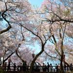 140421_takato-sakura_05.jpg