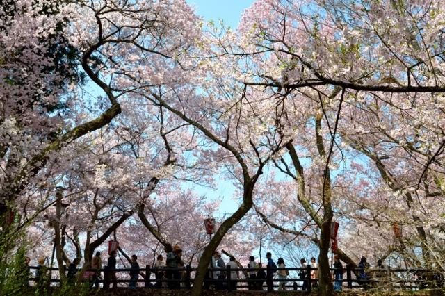 あこがれの「高遠城址公園」満開で、桜以外にうれしかったこと