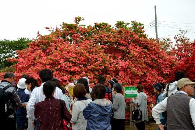 140429_tatebayashi-tsutsuji_16.jpg